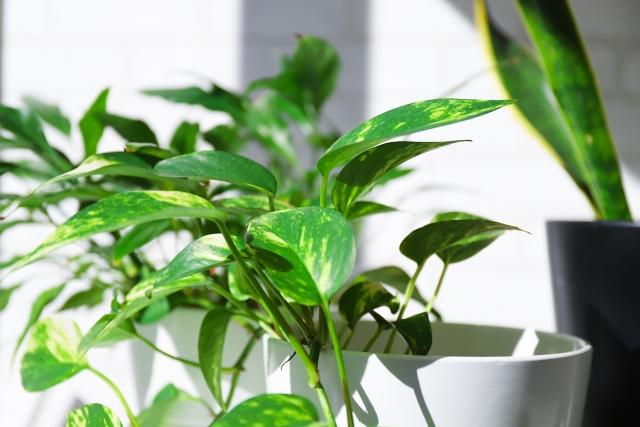 白い鉢と植物